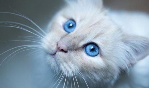Просительный взгляд кошки