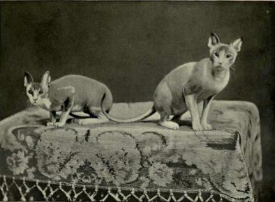 Голые мексиканские кошки