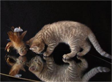 Котёнок и его отражение