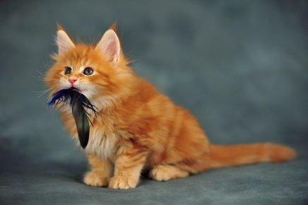 Котёнок с пёрышком в зубах
