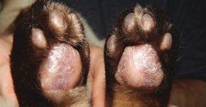 Распухшие и шелушащиеся подушечки кошачьих лап