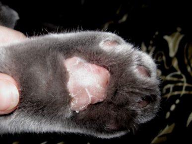 Кошачья лапа с шелушением на подушечке