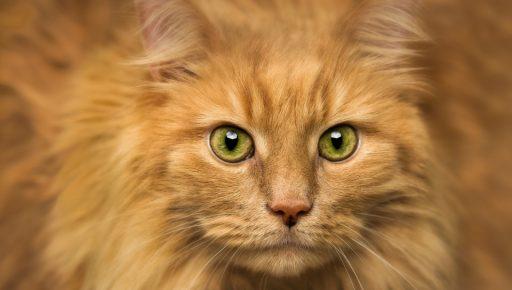 Взгляд рыжего кота