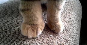 Передние кошачьи лапки, одна из которых опухла