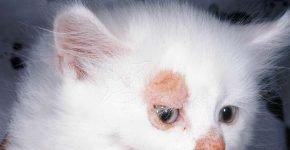 Очаги микроспории на морде у котёнка