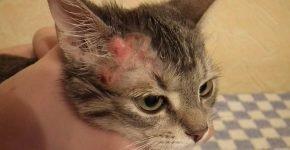 Ожог на голове у кота