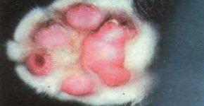 Покраснение, отёк и язвы на подушечках лапы у кошки