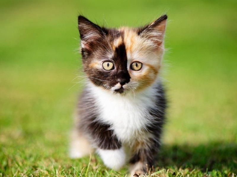 Как назвать кошку девочку прикольно трехцветную