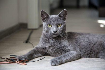 Серая кошка с жёлтыми глазами