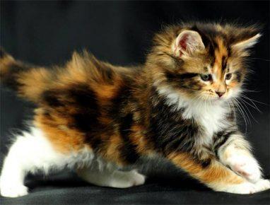 Котёнок триколор