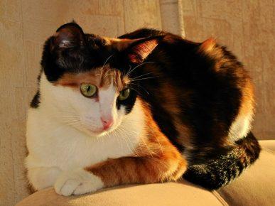 Кошка трёхцветная