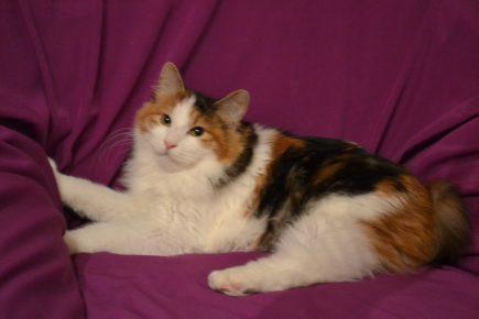 Окрас кошки арлекин