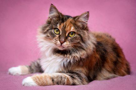 Трёхцветный окрас кота
