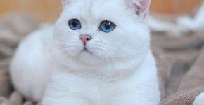Голубоглазый белый британец