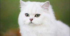 Зеленоглазый белый британец