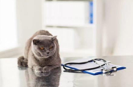 Британский кот на столе ветеринара