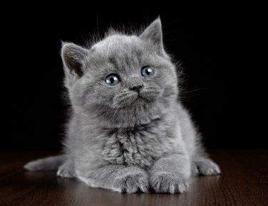 Породистый котёнок