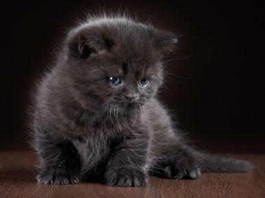 Котёнок темно-серого окраса