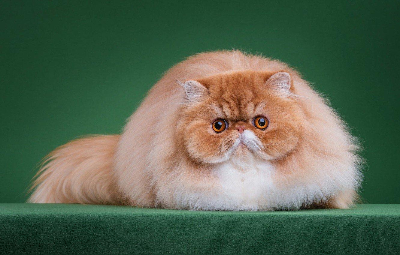 красивые картинки персидских котят новое десятилетие принесет