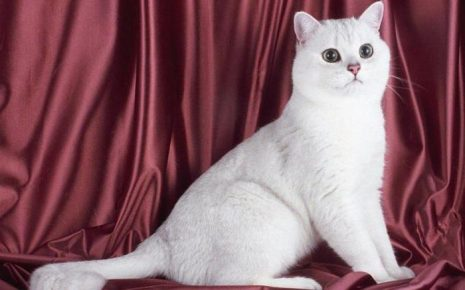 Белый британский кот