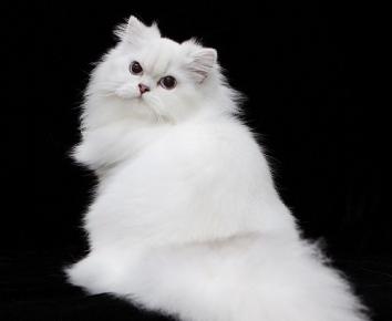 Длинношёрстный британский кот