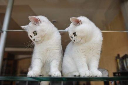 Два белых котёнка