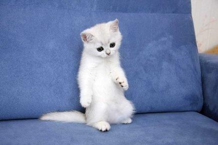 Белый котёнок на задних лапах