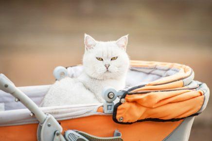 Белый кот в коляске