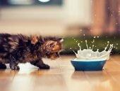 Котёнок крадётся к миске с молоком