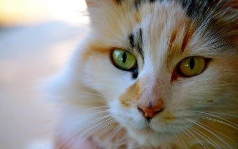 Кошка с трёхцветной шерстью