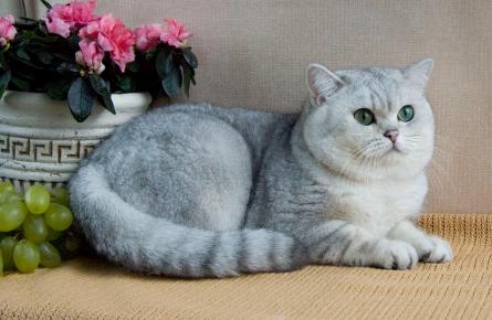 Британская кошка из питомника