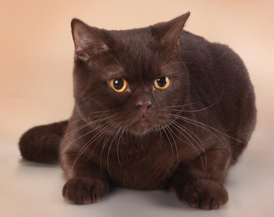 британец кот шоколадный картинки кошек процесс неизлечимый