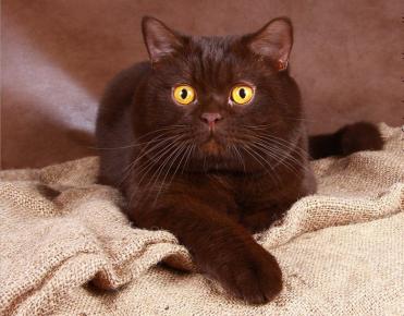 Желтоглазый кот британец
