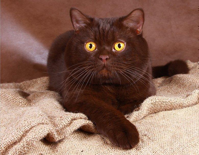 британец кот шоколадный картинки первичнополостные черви, которые