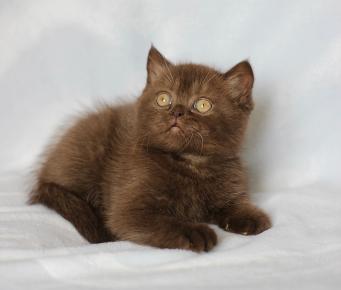 Котёнок британец в цвете шоколад