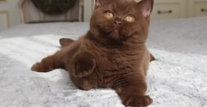 Котёнок британец каштанового окраса