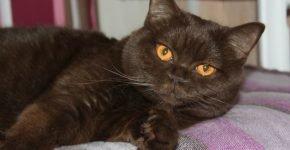 Британский кот с оранжевыми глазами