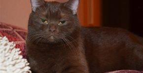 Кот шоколад