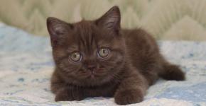 Лежащий шоколадный котёнок