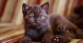 Каштановый британский котёнок