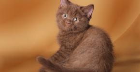 Маленький британский котёнок шоколад
