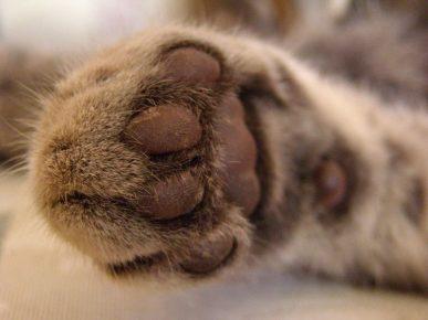 Кошачья лапка