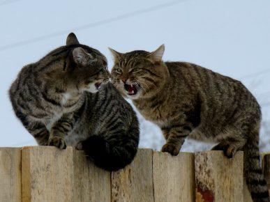 Коты кричат на заборе