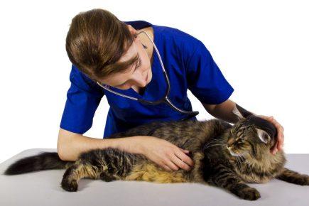 Ветеринар выслушивает кота