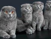 Британская и шотландская кошка