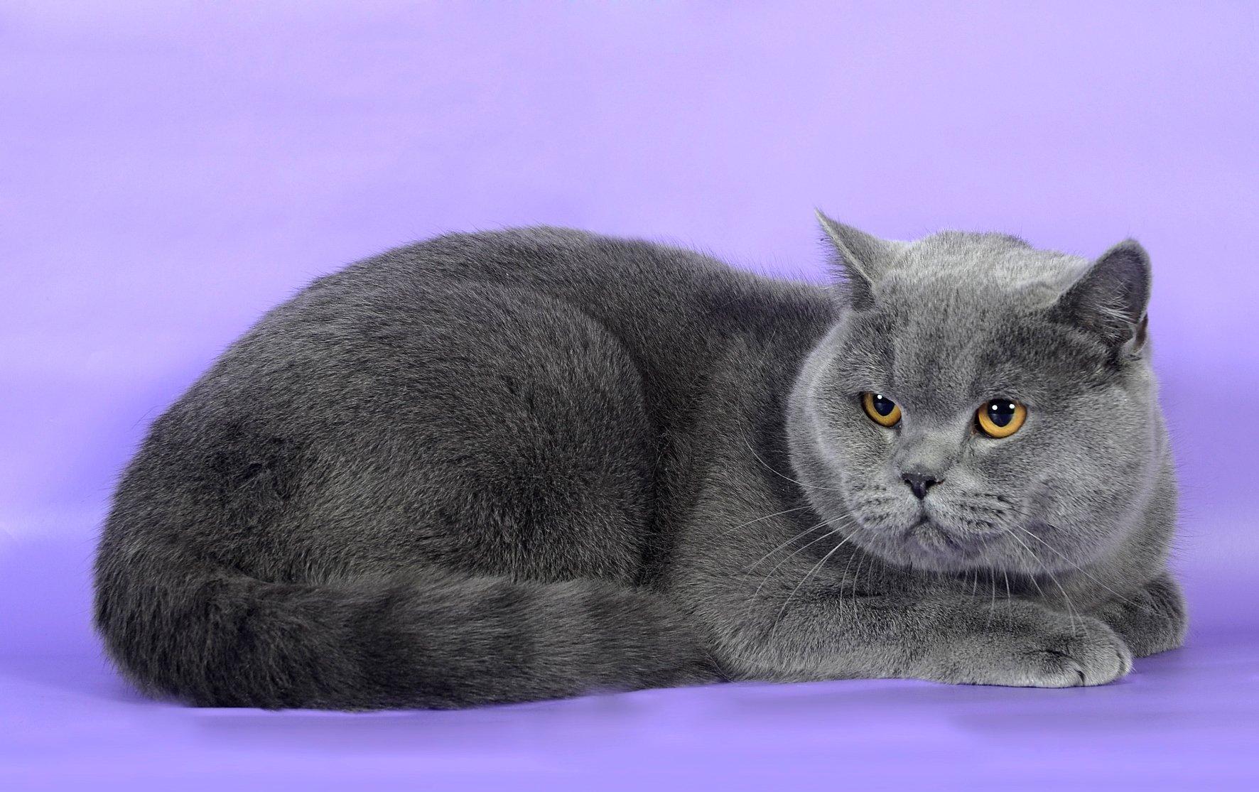 Картинка кошки породы британец