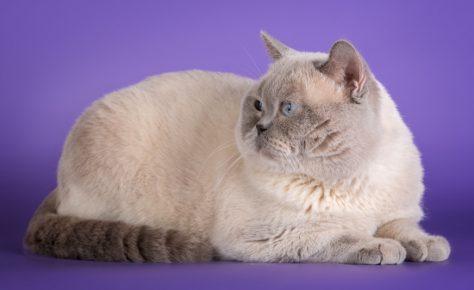 Британская кошка окраса колор-поинт
