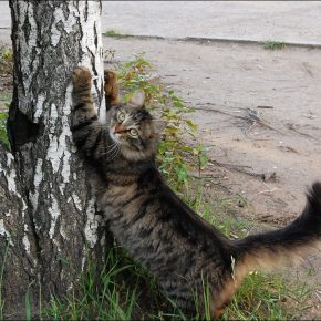 Кошка точит когти о дерево