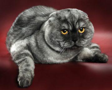 Шотландская кошка дымчатого окраса
