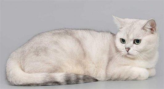 Шотландская кошка окраса серебристая шиншилла